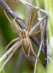 Pisaura mirabilis (Raul Espino) Tags: 2019 canon100mml macro macrofotografia natural naturaleza sevilla canon70d araña