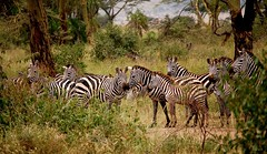 The Meeting Place (The Spirit of the World ( On and Off)) Tags: tanzania eastafrica africa safari gamedrive zebras stripes trees woodland foliage grasses wildlife nature arushanationalpark nationalpark gamereserve dazzle
