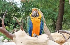 Perroquet au Zoo de La Palmyre (claude 22) Tags: zoo palmyre france animal animaux parc park royan zoological sauvages wild animals perroquet parrot