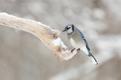 Blue Jay-40972.jpg (Mully410 * Images) Tags: jay bluejay spring winter backyard bird birds birding birdwatching birder snow