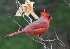 Northern Cardinal_11Mar2019 (Bob Vuxinic) Tags: bird northerncardinal cardinaliscardinalis male treebranch cumberlandplateau crossvilletennessee 11mar2019