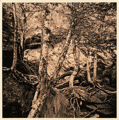 (A Personal Voyage) Tags: hasselblad500cm tmax400 rodinal stowevermont lithprint alternativeprocess darkroomprint forest rocks fall autumn vermont