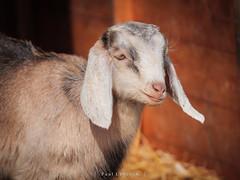 Kid (amipal) Tags: animal ashdownforest england farm gb goat greatbritain llamacentre nature spring sussex uk unitedkingdom