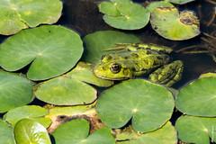 """Verde que te quiero verde"" (Mary Bassani) Tags: frog green nature amphibia amphibians danubedeltariver danubio romania river naturewildlife naturewildlifephotographer naturelovers animalplanet ngc"