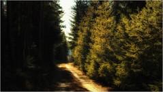 Die Schatten- und die Sonnenseite (linke64) Tags: thüringen deutschland germany gegenlicht grün natur nadelbäume landschaft licht weg wald bäume baum schatten waldweg