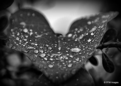 After the Rain (pandt) Tags: water droplets rain drops leaf blackandwhite nature beauty macro outdoor monochrome canon eos slr 6d