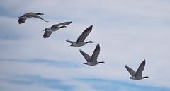 We're Off (dan.clayton) Tags: inglewoodbirdsanctuary baldeagle canadagoose canada calgary bowriver