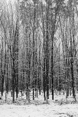 Winter Wonderland (Tom Levold (www.levold.de/photosphere)) Tags: bw köln königsforst forest wald d7000 nikon bäume wood snow trees sw schnee cologne