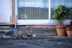 猫 (fumi*23) Tags: ilce7rm3 sony street sel85f18 85mm fe85mmf18 emount a7r3 animal katze neko cat chat gato alley ねこ 猫 ソニー