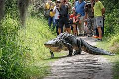 Sharing The Trail (Robert F. Carter) Tags: gators alligators gator alligator cbbr circlebbarreserve tourists wetland wetlands marsh marshes hikes hiking amazing amazement excited excitement swamp swamps lakeland florida reserves preserves