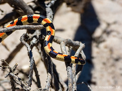 20170127 Spotted Harlequin Snake (Homoroselaps lacteus) (WillemZA) Tags: snake reptile animal wildlife nature outdoors southafrica venomous dangerous africa