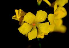 Flor-Flower_water-Agua (angelalonso57) Tags: canon eos 6d tamron sp 90mm f28 di vc usd macro11 f004 ƒ28 900 mm 12000 100 contraste macro flores luz composición detalle shot makro