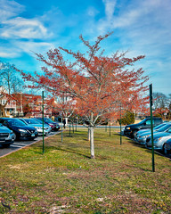1 Tree Tuesday Rich reds_ (Singing With Light) Tags: 2019 27thjanuary a7iii ct foudnersway milford mirrorless singingwithlight sonya7iii street sunday aroundmilford cloudy cool morning photography singingwithlightphotography sony walk