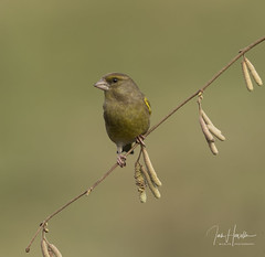 Greenfinch (Ian howells wildlife photography) Tags: ianhowells ianhowellswildlifephotography nature naturephotography canon canonuk greenfinch wildlife wildlifephotography wales wild wildbirds wildbird