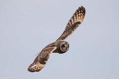 Sumpfohreule (christianweber2405) Tags: cuxhaven eule owl predator fly flug kontrast