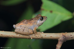 Pseudophilautus popularis? (Fernando_Iglesias) Tags: sri lanka srilanka ceylon frogs amphibians pseudophilautus fejervarja duttaphrynus toads polypedates