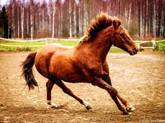 EM5B7979 (Teemu Paukamainen) Tags: carlos olympusem5 olympus40150mmf28 horse pony hevonen horsephotography animalphotography animalportrait petphotography petportrait portrait equine equinephotogprahy photoshop
