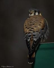 2I1A4232a (lfalterbauer) Tags: canon 7dmarkii nature wildlife kestrel birdsofprey falcon dslr digital ornithology avian flickr adobe lightroom outdoor sign bird