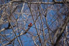Cleveland cardinal (Tim Evanson) Tags: myhouse bird cardinal