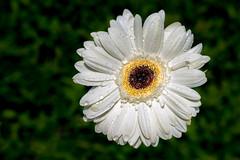 c'est printemps ! (musette thierry) Tags: fleur d800 nikon blanc gerbera jaune printemps spring flower flowers flor
