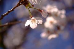 Cherry Blossom (yamabuki***) Tags: dsc58533 cherryblossom 桜 横浜イングリッシュガーデン