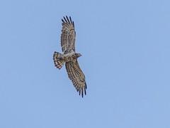 Short-toed Snake Eagle (Mike Prince) Tags: accipitridae aves birds circaetusgallicus india karnataka kiteshawksandeagles sabbanahallilake shorttoedsnakeeagle birdsofprey raptors