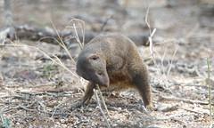 Dwarf Mongoose marking its territory -9407 (Theo Locher) Tags: dwarfmongoose helogaleparvula zoogdieren mammals krugernationalpark kruger southafrica zuidafrika copyrighttheolocher