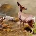 Deer - Zion National Park