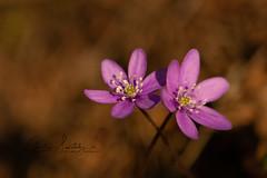 Spring twins - SOOC (CecilieSonstebyPhotography) Tags: bokeh flowers closeup flower ef100mmf28lmacroisusm canon stems oslo macro anemonehepatica pink canon5dmarkiii forest purple sooc petal markiii petals anemone