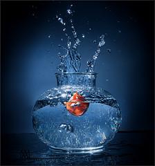 goldfish drop shot (marianna armata) Tags: goldfish fish toy standinsubstitute plastic water bowl splash flash cactus trigger strobe studio fun silly hilarious mariannaarmata blue orange whimsical smiles