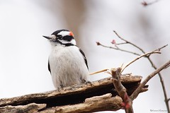 Downy Woodpecker Male (Anne Ahearne) Tags: wild bird animal nature wildlife woodpecker birdwatching downywoodpecker bokeh tree