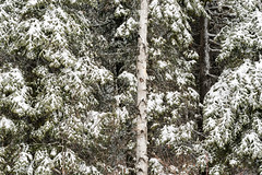 'Spring Surprise' (Canadapt) Tags: spring winter snow birch cedar tree forest keefer canadapt