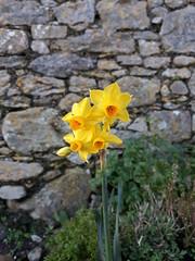 Strange sight (Errols Cuz) Tags: daffodils narcissi flowers stmaryschurch dungarvan county waterford ireland teresaflynn