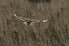 Short Eared Owl-2665 (WendyCoops224) Tags: 100400mml 80d fens winterwatch canon eos ©wendycooper short eared owl asio flammeus