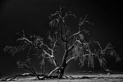 Namib Tree (HWHawerkamp) Tags: namibia africa desert trees sossusvlei dunes travel monochrome hawerkamp