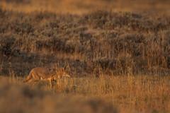 Coyote (Samuel Raison) Tags: coyote wildlife wild animal animals animauxsauvages nature naturephotography yellowstone yellowstonenationalpark yellowstonewildlife usa lumière matin herbes nikon nikond3 nikon4600mmafsgvr nikontc17eii
