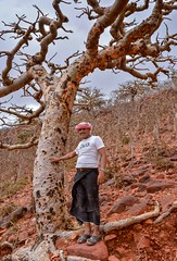 Frankincense Trees (Rod Waddington) Tags: yemen yemeni frankincense trees socotra island indian ocean man nature rare endangered