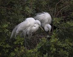 Precious One (boni5d) Tags: egrett florida pairing bonding animal bird nest egg mating white feathers three rookery nature