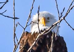 Peak, I see you! (114berg) Tags: 08feb19 mississippi river lock dam 14 bald eagles leclaire iowa