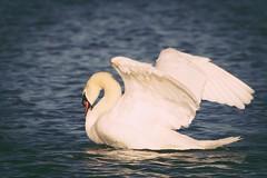 IMG_2484 (LezFoto) Tags: swan mute cygnusolor loirstonloch aberdeen scotland unitedkingdom canoneos700d sigma 700d canon 120400mmf4556dgapooshsm digitalslr dslr canonphotography sigmalens