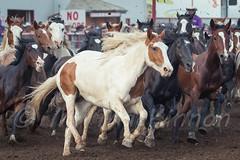 Ponoka Stampede 2016 (tallhuskymike) Tags: ponoka stampede event ponokastampede horse horses cowboy action outdoors 2016 alberta