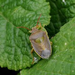 Piezodorus lituratus (Tim Worfolk) Tags: piezodoruslituratus gorseshieldbug pentatomidae