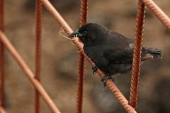 Charles Darwin Research Center (fordc63) Tags: ecuador equator galapagos unesco nationalpark nature wildlife ecology southamerica island ocean tropical volcanic latinamerica bird birding birdwatching ornithology finch endemic