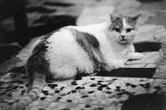 Ritratti di un gatto imprendibile! (sirio174 (anche su Lomography)) Tags: gatto cat zia casa mortara imprendibile tinello italia italy felino canonae1 ilfordhp5