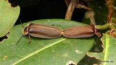 Fireflies mating, Aspisoma sp. or Photinus maculicolis? Lampyridae (In Memoriam: Ecuador Megadiverso) Tags: andreaskay aspisomasp beetle coleoptera ecuador firefly lampyridae mating photinusmaculicolis