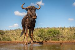 Wildebeest / Gnoe (Wim Hoek) Tags: gnoe zimangagamereserve umgodiovernighthide mammals afrika africa connochaetes gnus wildebeest zoogdieren uphongolonu kwazulunatal southafrica za