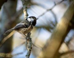 🇬🇧 Coal tit (vickyouten) Tags: coaltit nature naturephotography wildlife britishwildlife wildlifephotography nikon nikond7200 nikonphotography nikkor55300mm formbybeach formby uk vickyouten