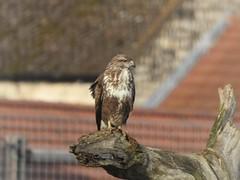 Buzzard (Simply Sharon !) Tags: buzzard bird birdofprey wildlife britishwildlife nature march yorkshirewildlifepark