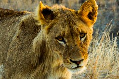 The Lion prince (Nugohs1) Tags: africa southafrica afriquedusud kruger sanpark lion animal wild portrait bush