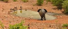 Ongava Waterhole (cb dg photo) Tags: wildlife wildlifephotography travel vacation safari luxurysafari ongava ongavalodge namibia etosha waterhole oryx elephant
